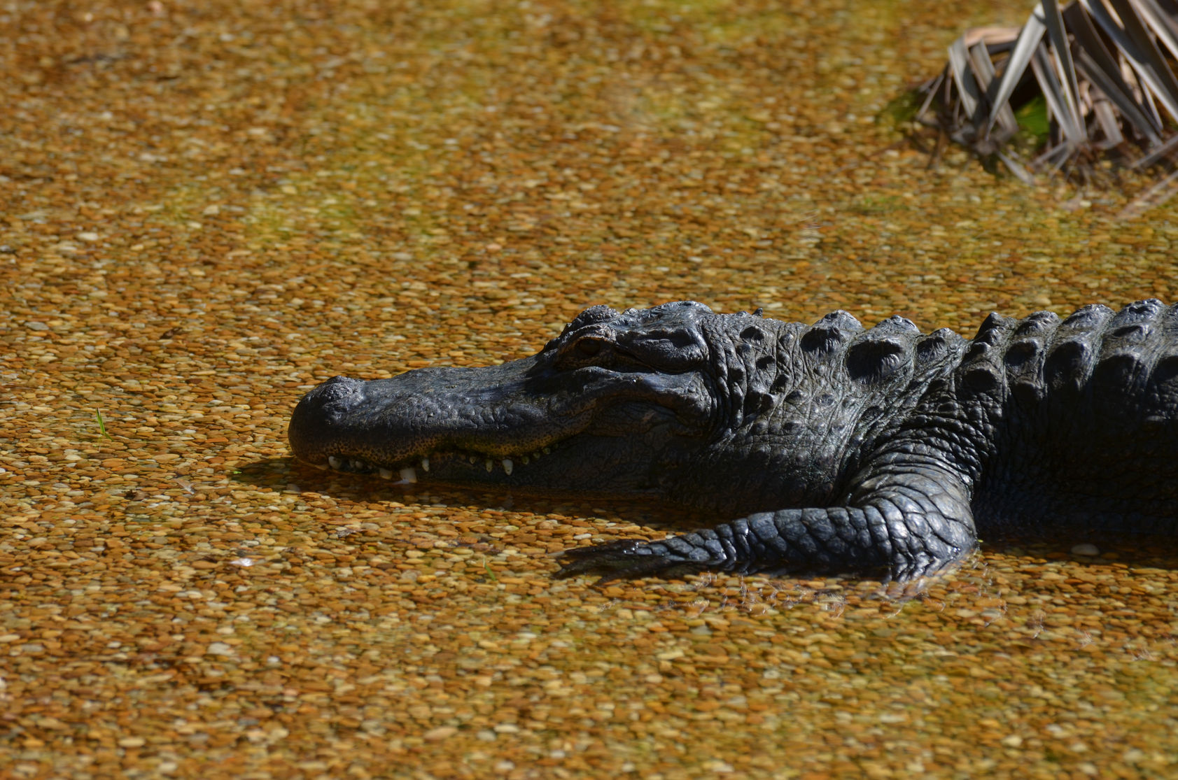 11 Places in Southern Florida to See Alligators • Naples Florida ...